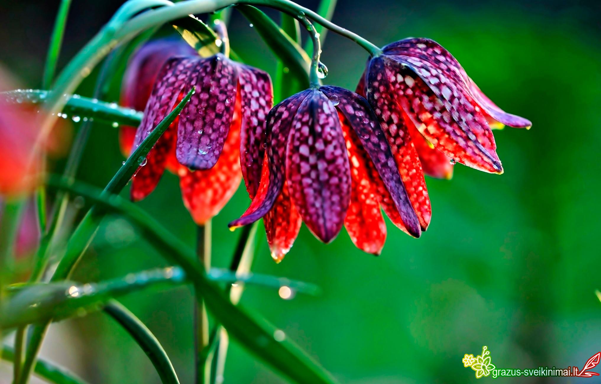 Margos gėlės tau, mieloji